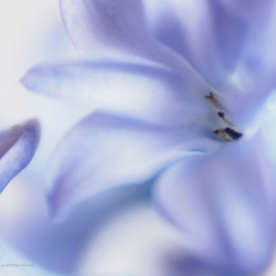 Met licht geschilderd.....hyacinth