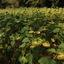 Zonnebloemen -1-