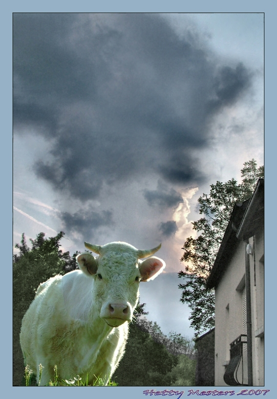 Onraad in de Morvan - Charolais-koe in afwachting van de weersveranderingen