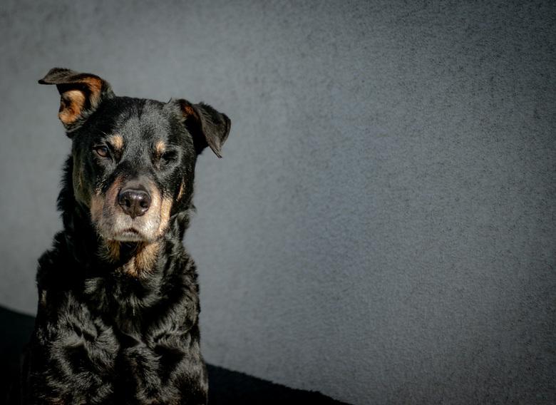 Trouwe Dame - Onze oude trouwe Rottweiler.