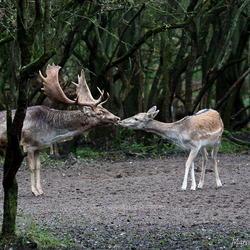 De kus ...