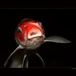 Gold Fish *