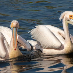Pelikanen - Avifauna