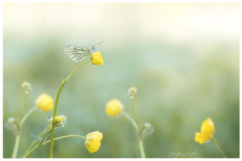 Yellow - Genoten tijdens een koude ochtend van dit geaderd witje.