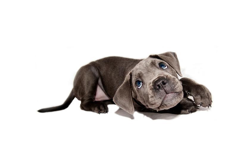 Juno - onze pup 8 week oud, voor de liefhebbers een Cane Corso<br />