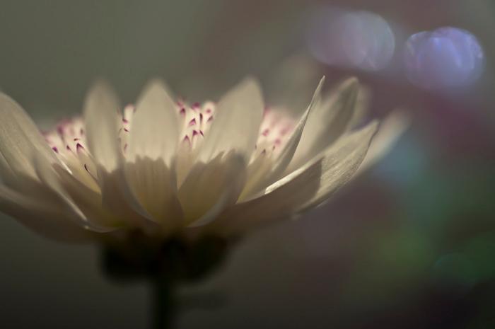 chrysantbloemetje - In de zon met wat glinsters op de achtergrond.<br /> Groetjes Jeanne
