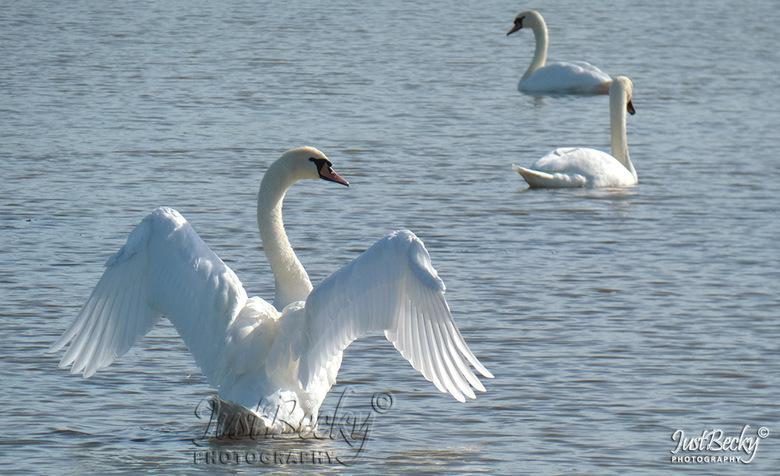 swan - zwaan rekt zich uit
