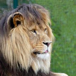 meneer leeuw is moe