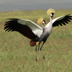 Dancing with crowned cranes