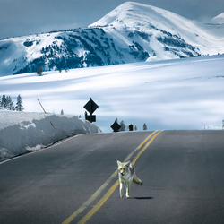 Yellowstone Parc USA - wildlife & highway