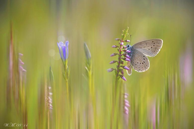 Gentiaanblauwtje - Wat was ik blij dat ik het Gentiaanblauwtje kon fotograferen. Dit zeldzame en kwetsbare vlindertje woont in een soort paradijsje, v