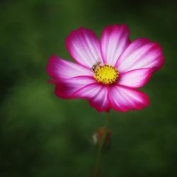 bloemetje met zweefvliegje