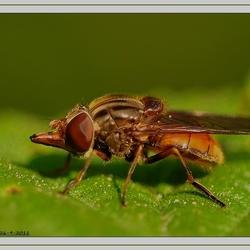snuitvlieg (Rhingia campestris)