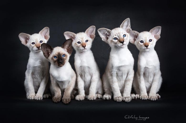 Siamese kitten row