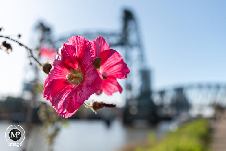 Bloem, brug, zon. - Een door de zon omlijste bloem met in de achtergrond een grote brug in Rotterdam. Foto gemaakt tijdens de testdag voor Tamron obje