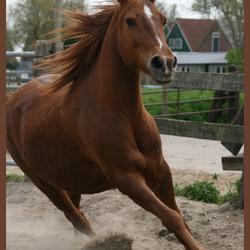 paardje in galop
