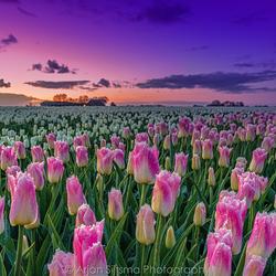 Zonsopkomst tulpenvelden
