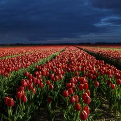 Tulpenpracht bij nacht