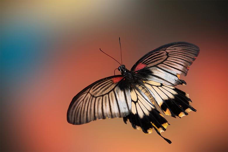 Papilio memnon vlinder -