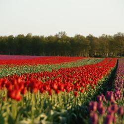 Tulpen in Hijken