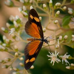 swahili vlinder