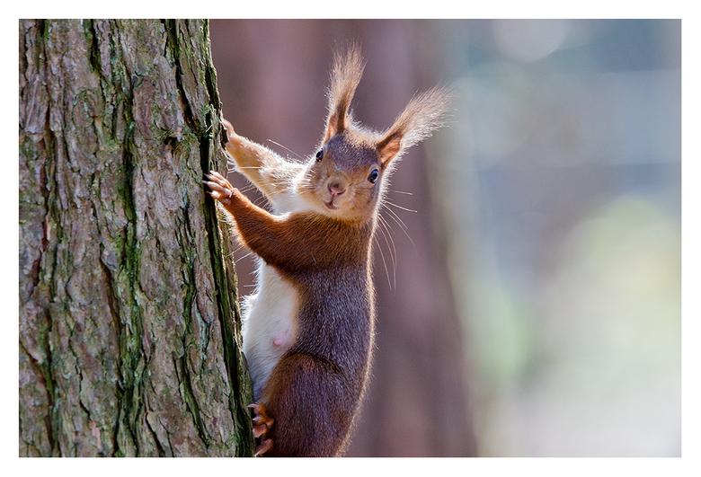 Eekhoorntje..... - Dit Eekhoorntje wilde wel even poseren 's morgens vroeg in het tegenlicht.