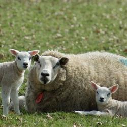 Moederschaap met lammetjes