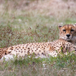 Cheetah in the midday sun