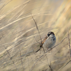 Painted Sparrow...