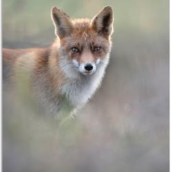 Dreamy fox