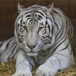 witte tijger 08
