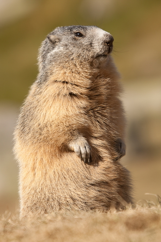 Marmot op de uitkijk