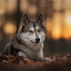 Wolfhond bij zonsondergang