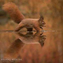 Eenhoorn met zijn spiegelbeeld