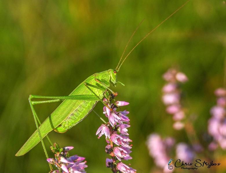 Sabelsprinkhaan - Sabelsprinkhaan (Tettigoniidae)