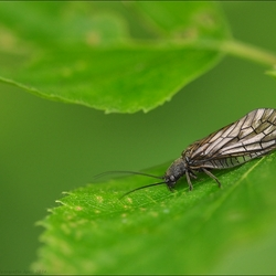 Slijkvlieg ook wel Elzenvlieg genoemd