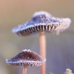 Frosty Mushrooms
