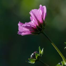 Mooi roze... maar wat voor plant het is?