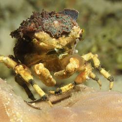 camouflage krab