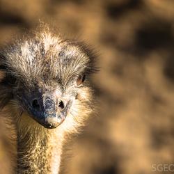 Struisvogel kop