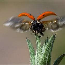 Lieveheersbeestje.