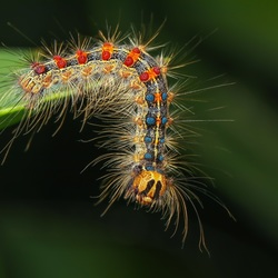 Rups van Plakker vlinder