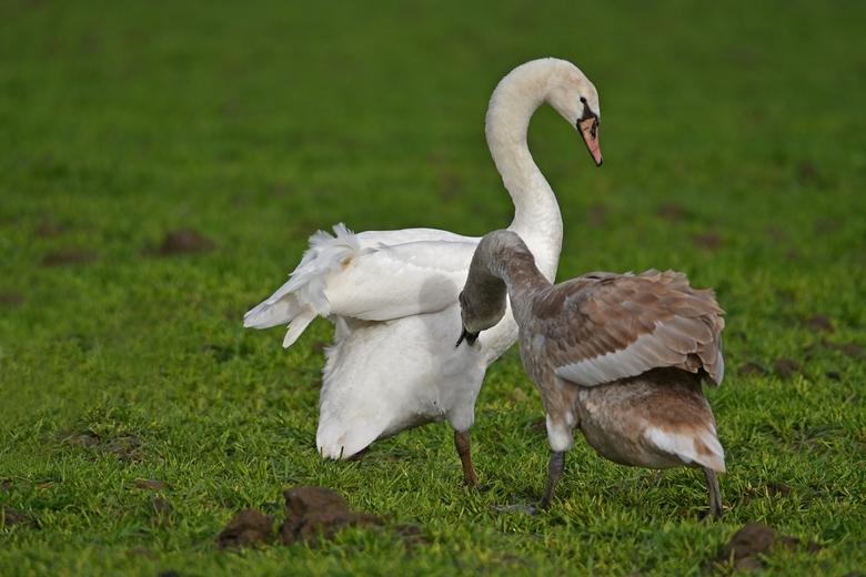 Pikorde - Op een weiland wemelde het van de (jonge) zwanen. Land was een beetje drassig en overal stonden er kleine plasjes water. Ondanks dat viel de