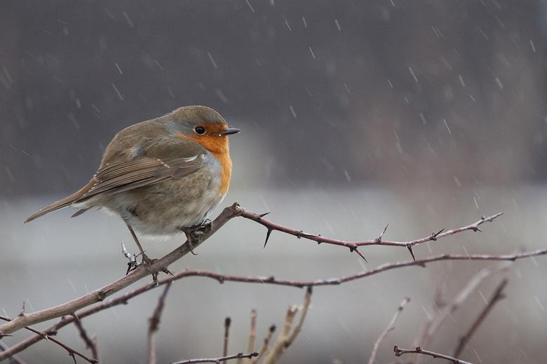 Winter Robin - Een roodborstje in de sneeuw