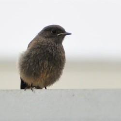 zwarte-roodstaart-jong