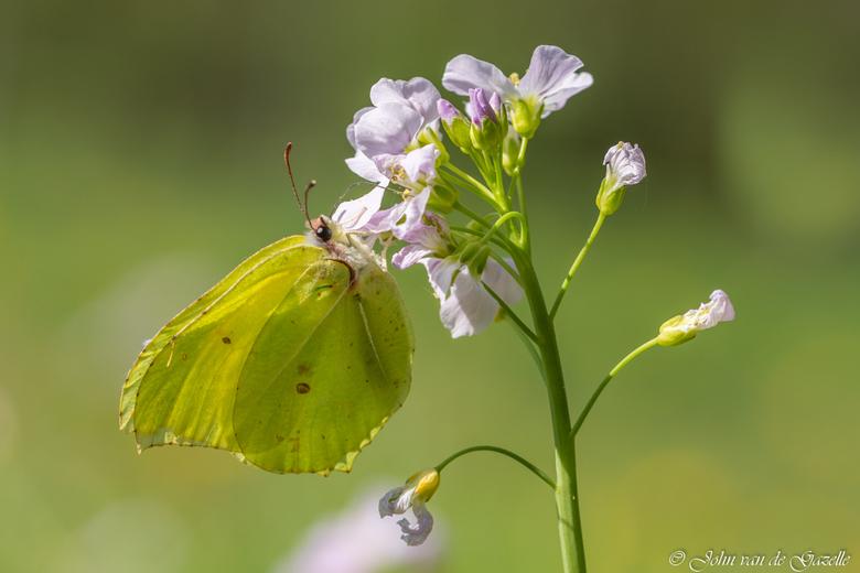 Citroenvlinder (Gonepteryx rhamni)_ - Citroenvlinder (Gonepteryx rhamni) <br /> Overbekend is het citroentje. Het vrouwtje is groenig lichtgeel en he
