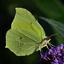 Citroen vlinder