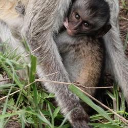 Zogend aapje, tussen t gras van de Serengeti
