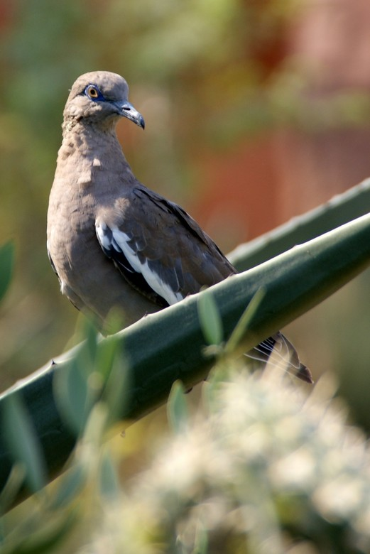 duif - dagje burgers zoo .. waar een doodgewone duif zat te koekeloeren..