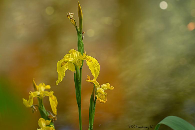 Aan de waterkant  - Langs de randen aan de plas bij mij in het park bloeien nu de gele irissen zo mooi om te zien. <br /> <br /> Iedereen bedankt vo